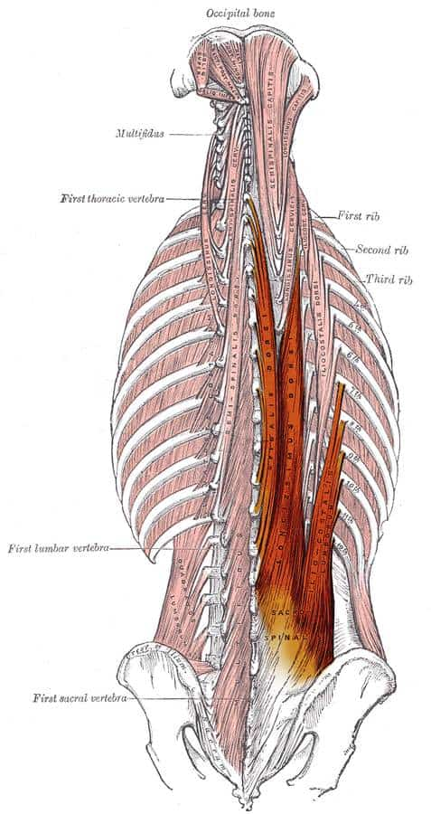 spinal erector muscles in the deadlift