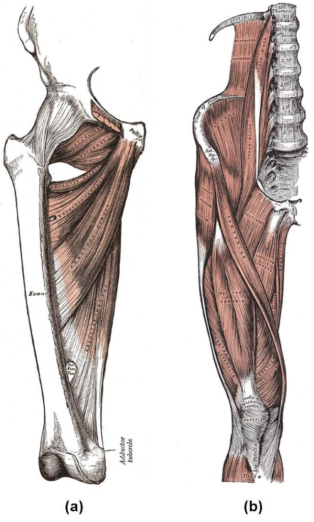 hamstring muscles in the deadlift
