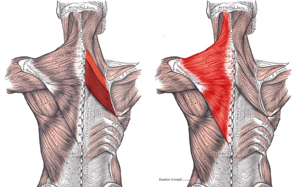 Muscles used in scapular control