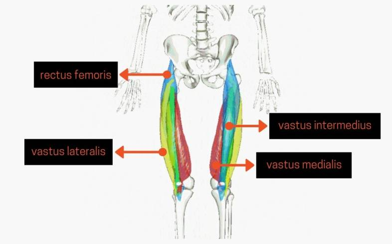 if you're weak off the floor in the deadlift it may be due to having underdeveloped quad muscles