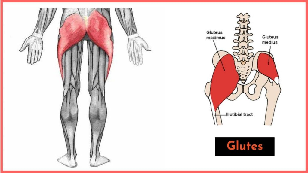 3 different actions that the glutes do while you perform the leg press