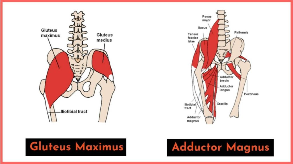 gluteus maximus and adductor magnus both contribute to extending the hip and different portions of the squat.