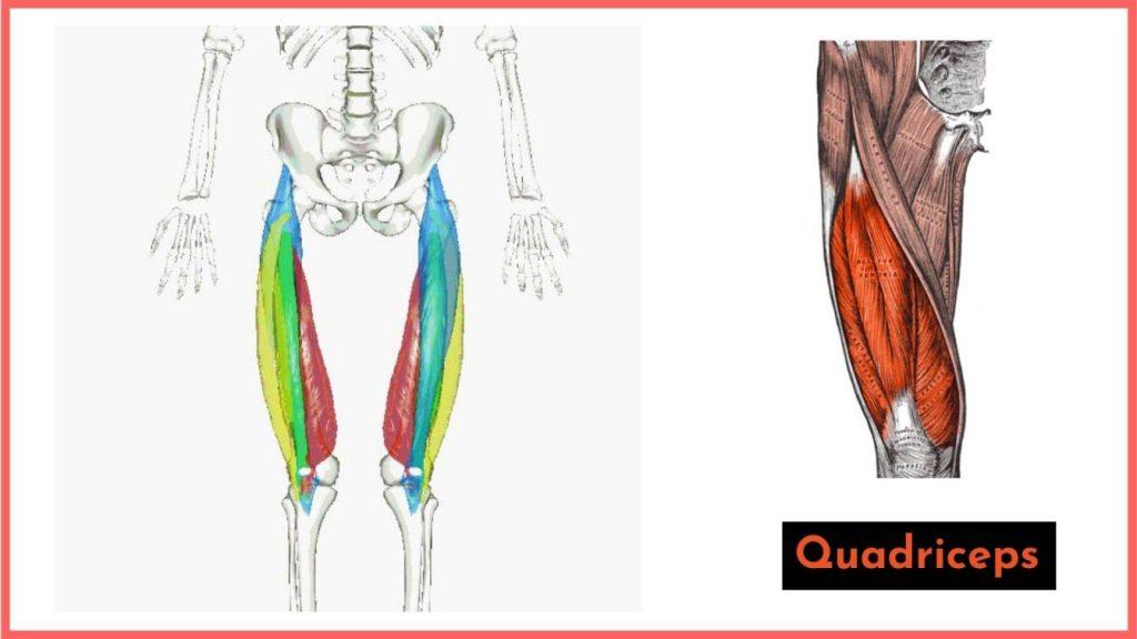 the primary knee extensors are the quadriceps