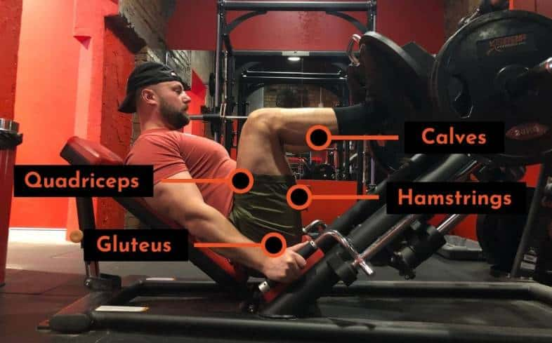 muscles used in the leg press