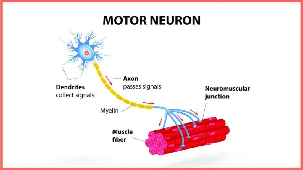a neuron is just an electrical communication link between your brain and your muscle
