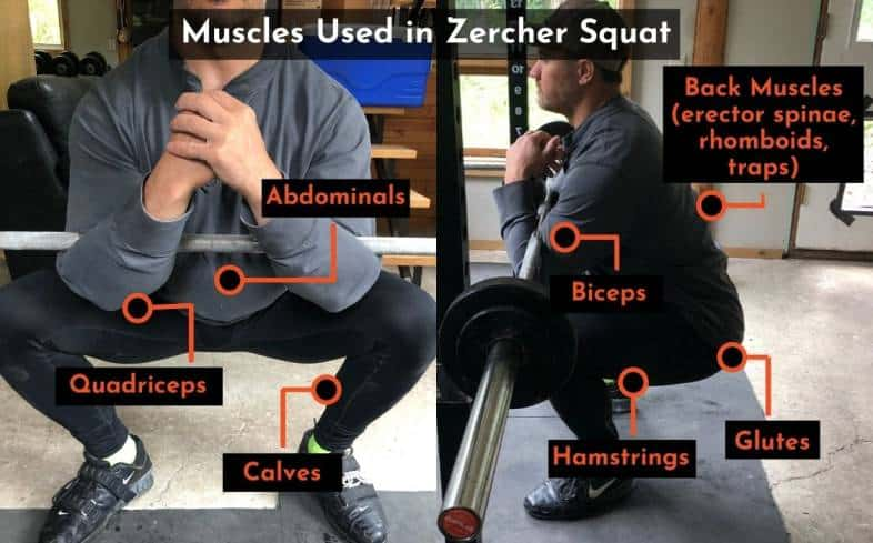 muscles used in the zercher squat