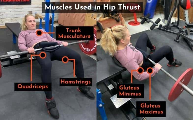 muscles used in the hip thrust