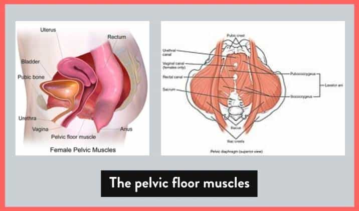 the muscles of the pelvic floor are so commonly involved in the expression of tailbone pain when they're dysfunctional
