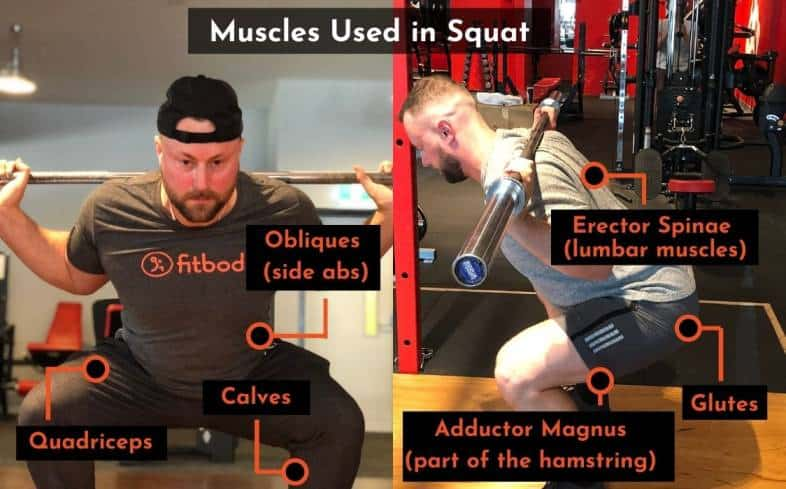 muscles used in the squat