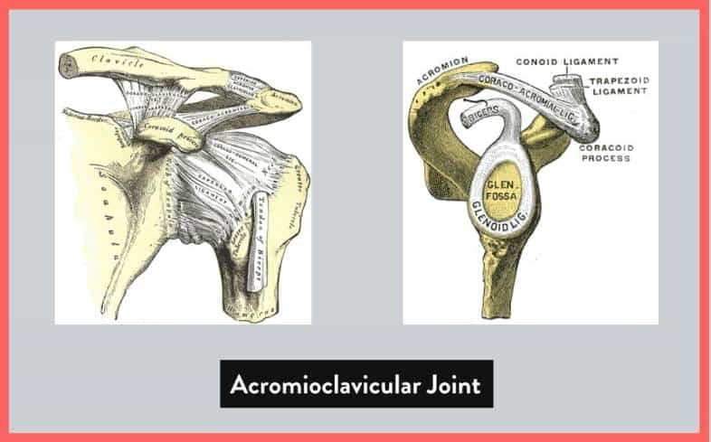 the shoulder girdle, known as the acromioclavicular joint is the joint where the end of the collar bone meets with the top of the shoulder blade