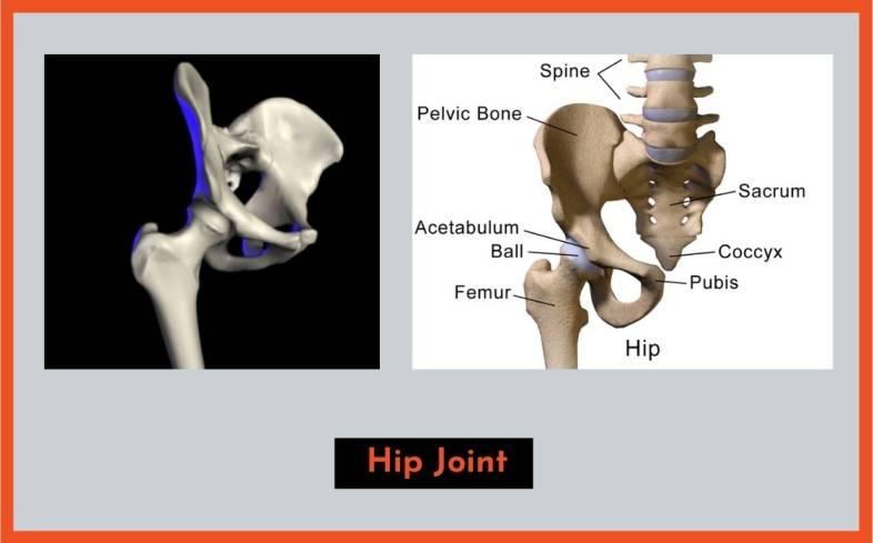 understand the basics of hip anatomy