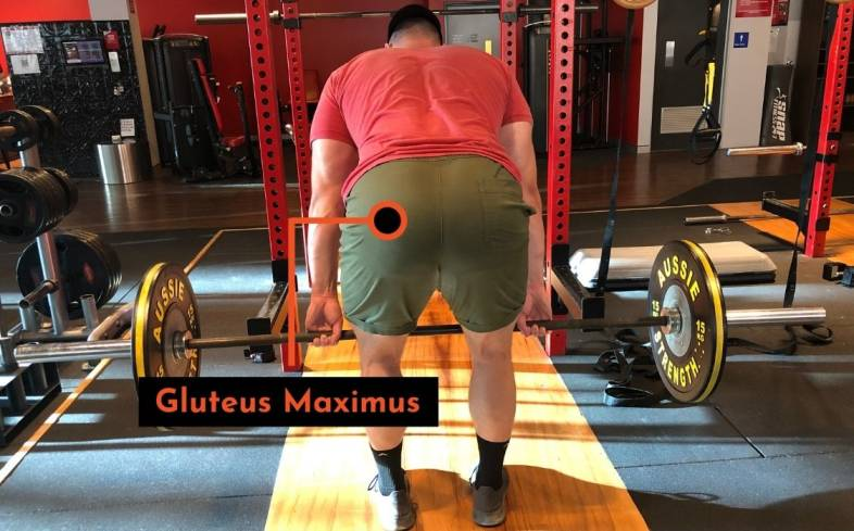 the gluteus maximus contributes to extending the hip during the deadlift