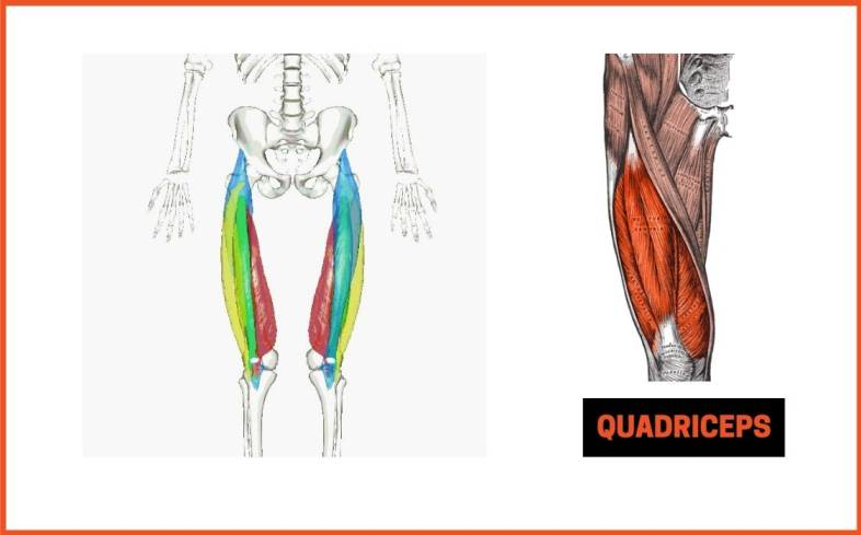 the use of quads in the deadlift