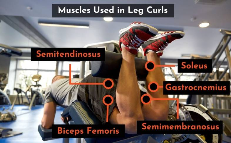 muscles used in leg curls