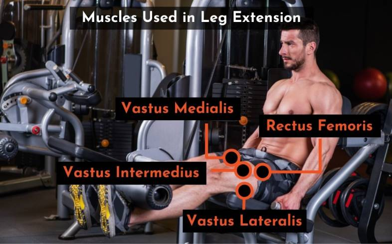 muscles used in leg extension